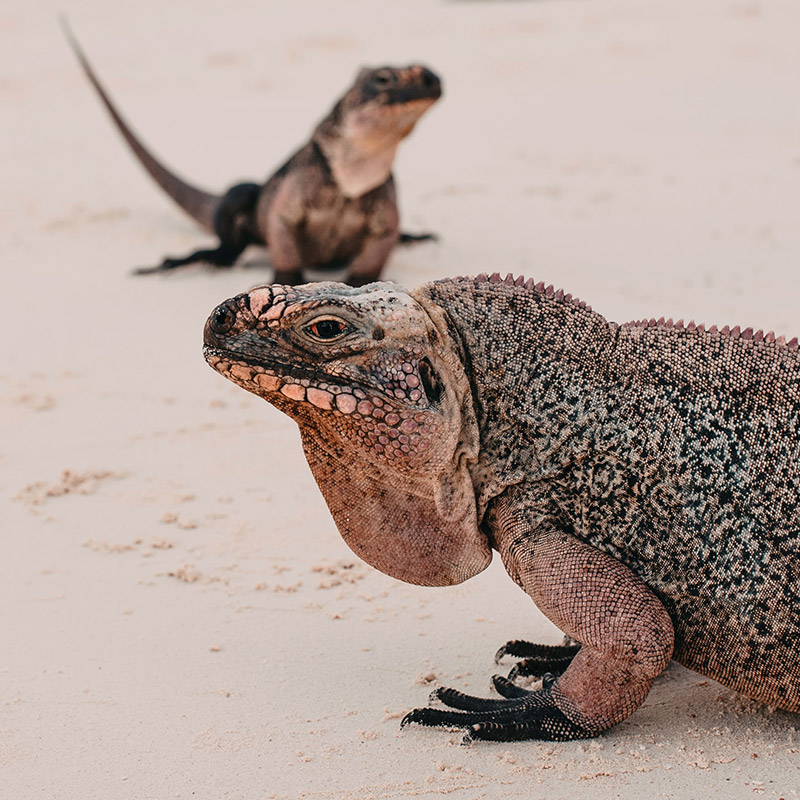 Allen's Cay Rock Iguanas - The Exumas