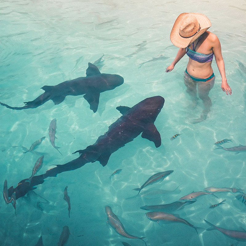 Petting the Nurse Sharks at Compass Cay - The Exumas