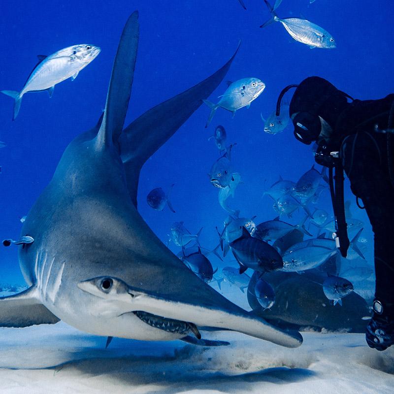 Hammerhead Dive Experience - The Exumas