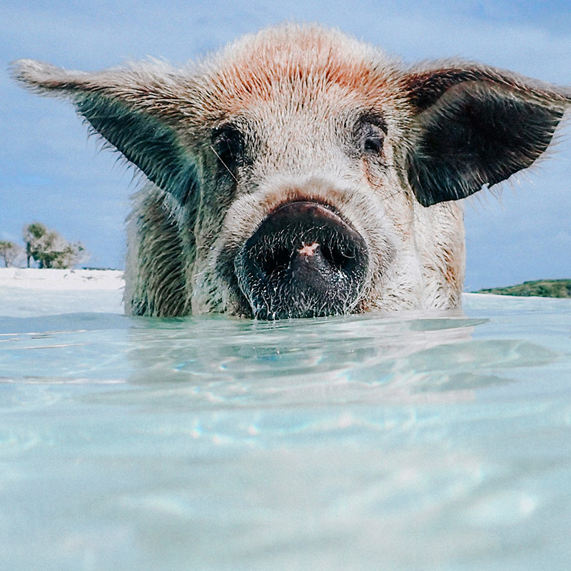 Swimming Pigs of Majors Cay | The Exumas | Bahamas