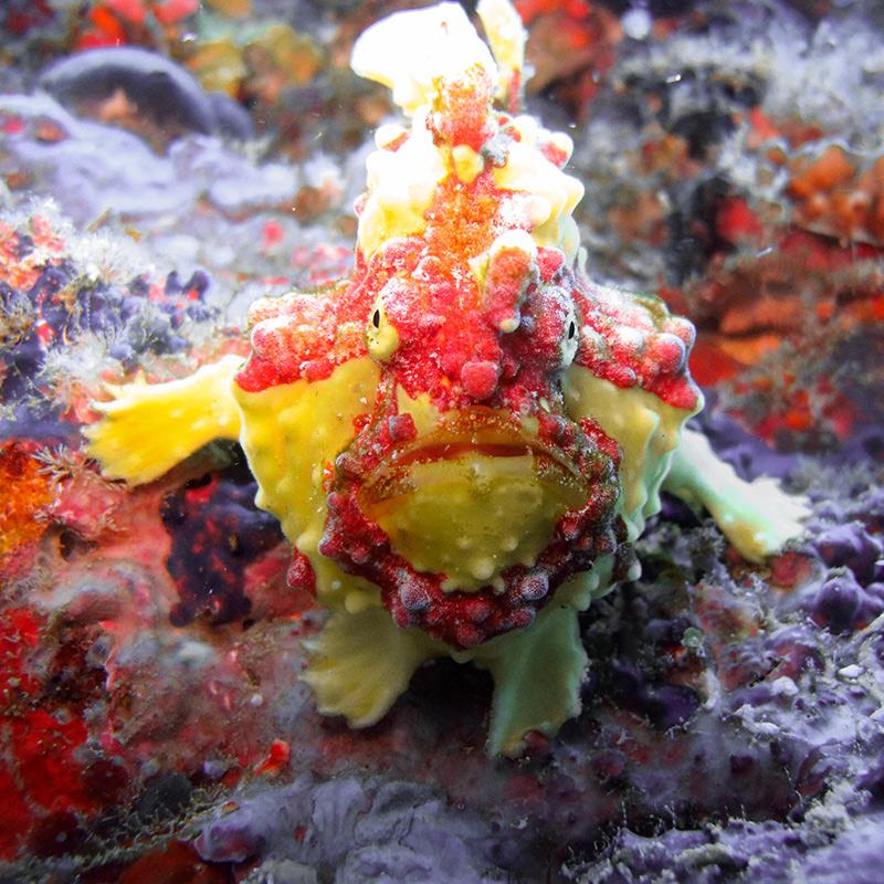 CruiseNautic - Frogfish