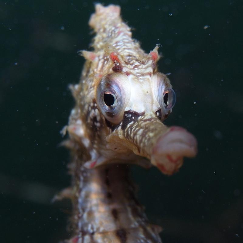 CruiseNautic - Seahorse