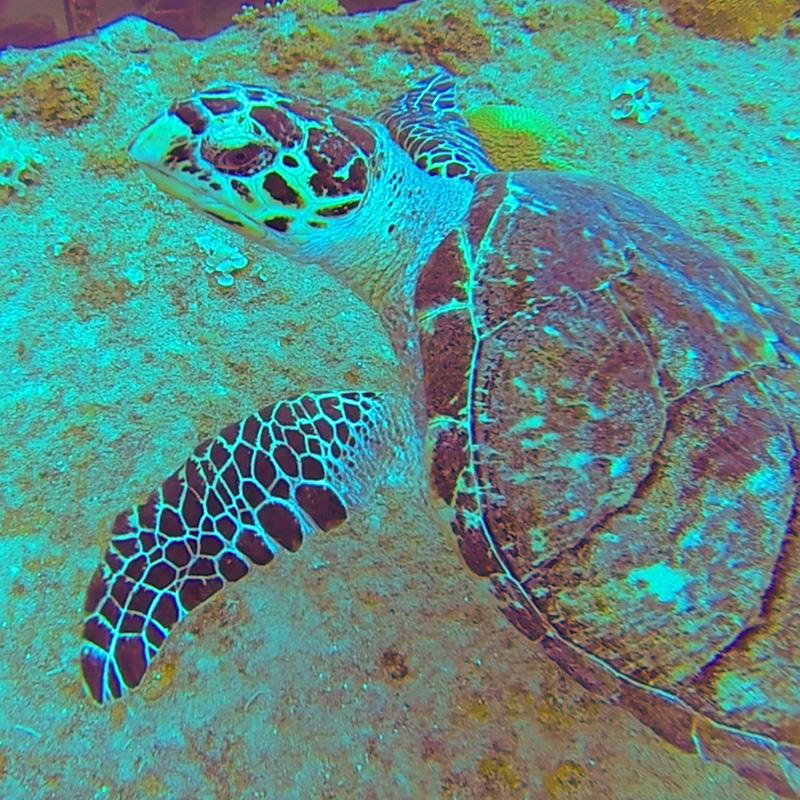Turtle - Shallow Wrecks - Frederiksted - CruiseNautic