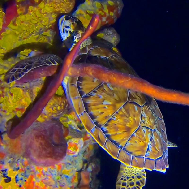 Snoozing Turtle - Frederiksted Pier - CruiseNautic