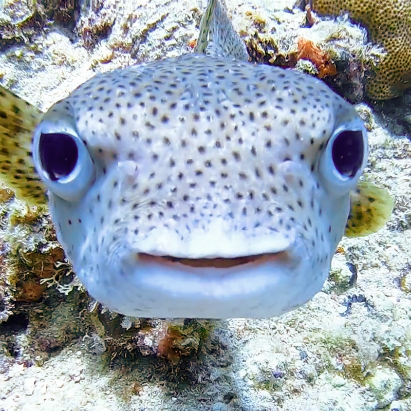 Porcupine Fish - CruiseNautic
