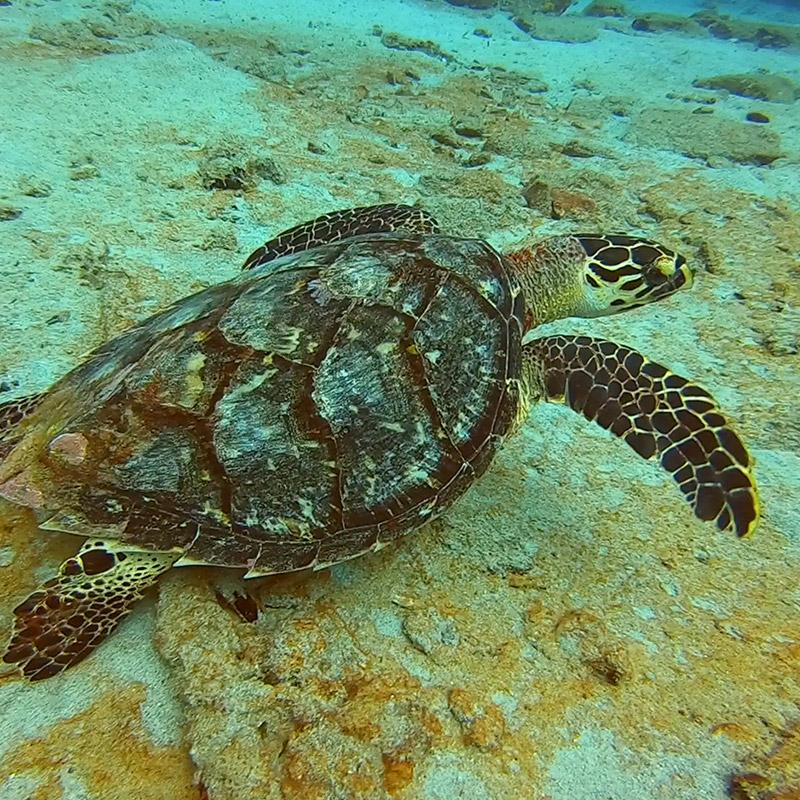 Hawksbill Turtle, Frederiksted Pier - St Croix, USVI