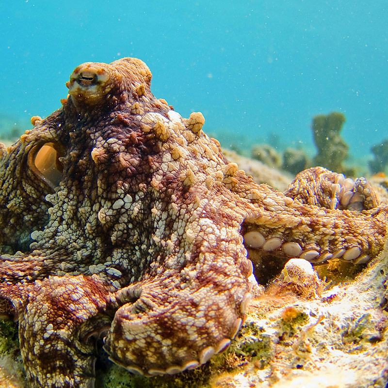 Camouflaged Octopus, Bonaire National Marine Park