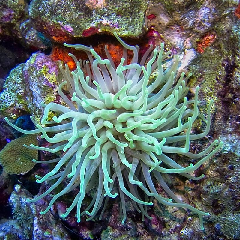 Sea anemone, Bonaire
